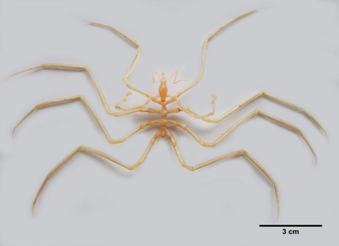 Ascorhynchus levissimus Loman, 1908