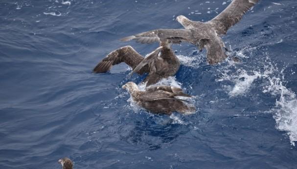 दक्षिणी समुद्र के विशालकाय पेट्रल्स