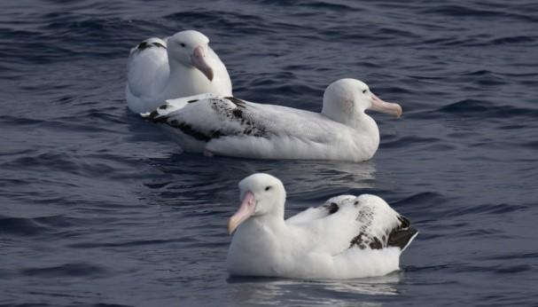 दक्षिणी समुद्र के सफेद टोपीवाला आल्बट्रोस